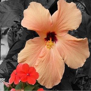 White Peach Hibiscus Fragrance Oil